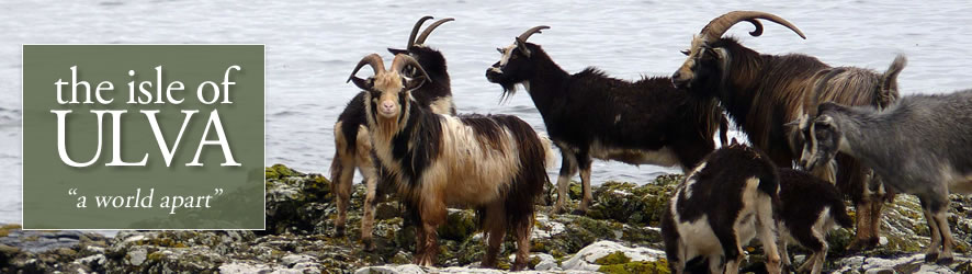Wild goats resident on the Isle of Ulva