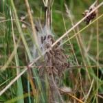 Marsh Fritillary caterpillars on a large web, high in the vegetation