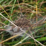 Marsh Fritillary caterpillars on their web