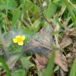 Fresh web made by newly hatched Marsh Fritillary caterpillars