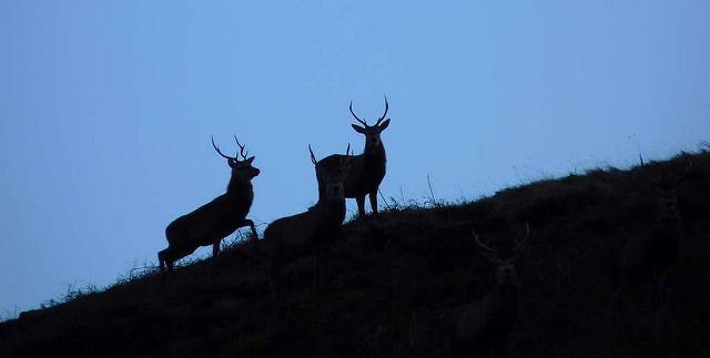 Deer silhouette, Ulva